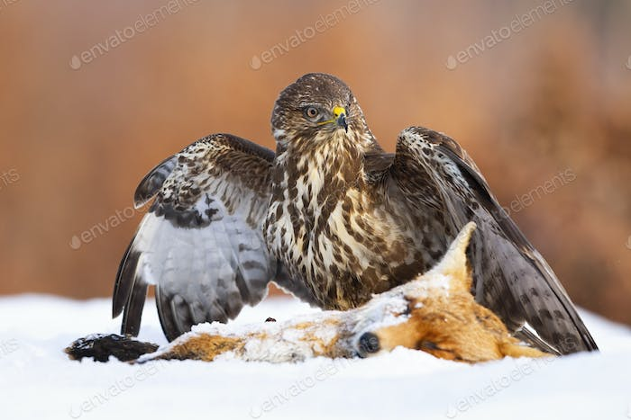 Common buzzard standing next to prey on snow with spread wings