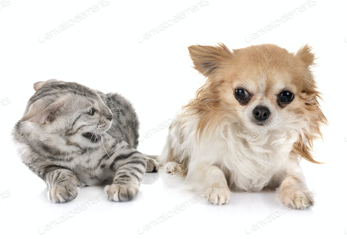 bengal kitten and chihuahua