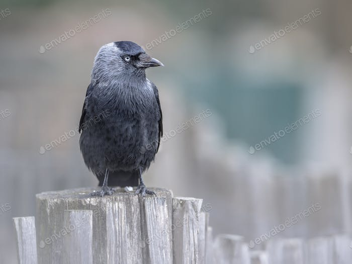 Western Jackdaw on a garden fence