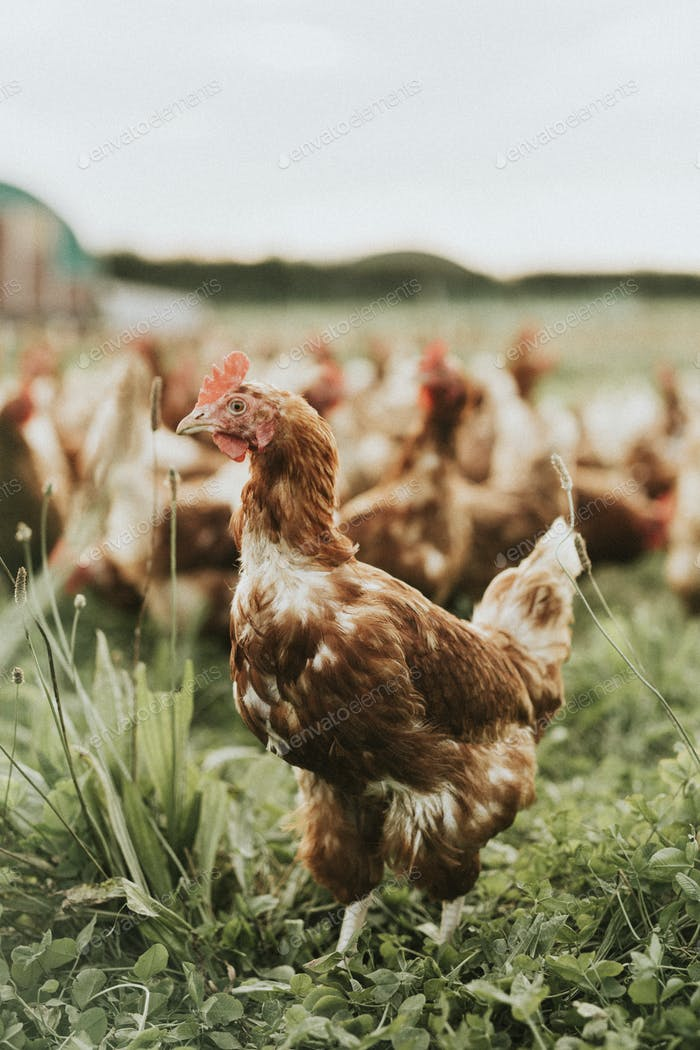 Flock of hens at a farm