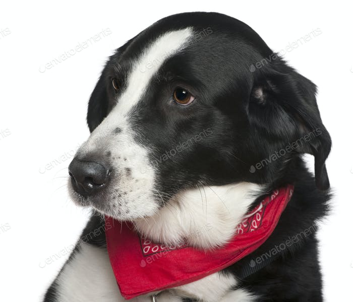 Close-up headshot of Crossbreed dog, 9 years old, in front of white background