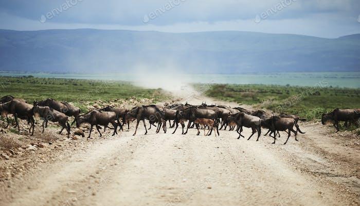 A herd of wildebeests in Africa