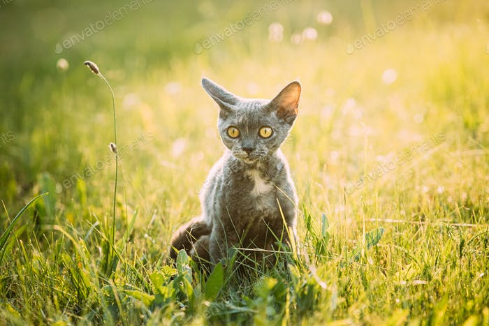 Funny Young Gray Devon Rex Kitten Sitting In Green Grass. Short-haired Cat Of English Breed