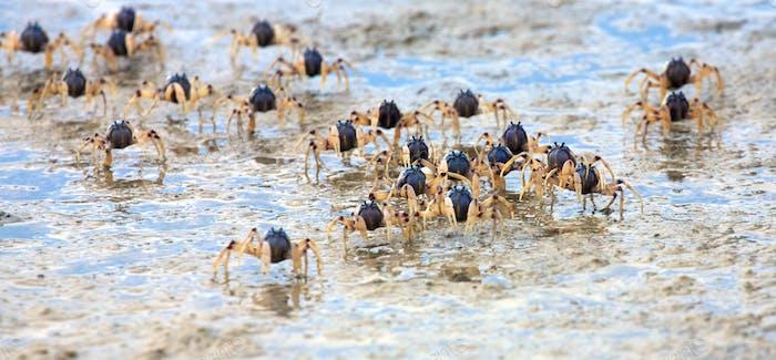 Crab swarm (2)