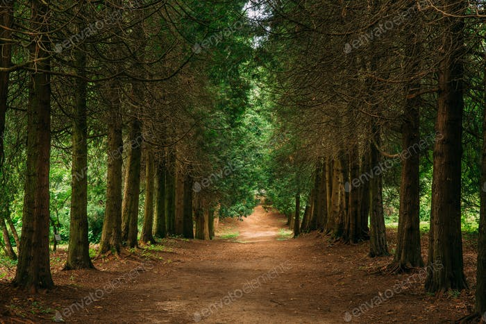 Walkway Lane Path Through Green Thuja Coniferous Trees In Forest