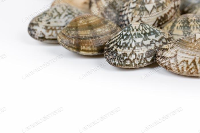 short necked clam on white background