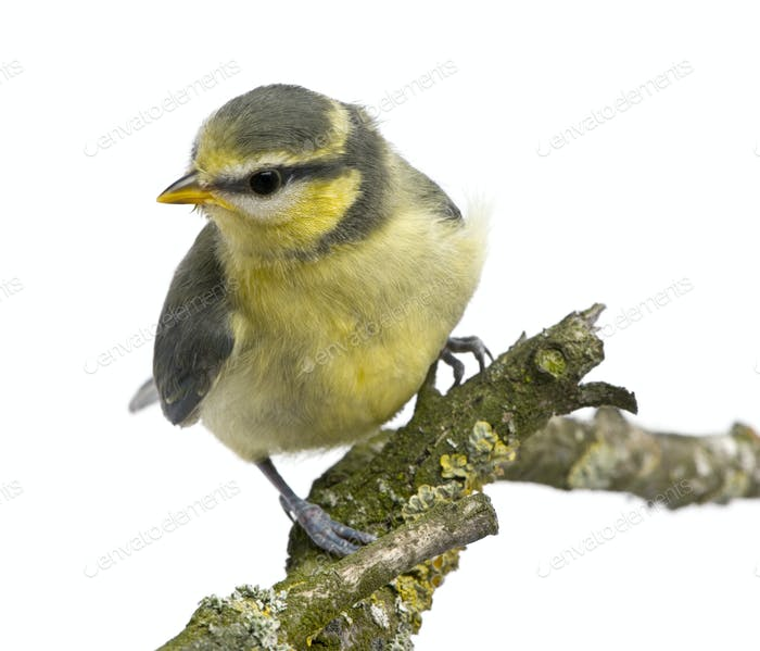 Blue Tit, 23 days old, perching on branch against white background