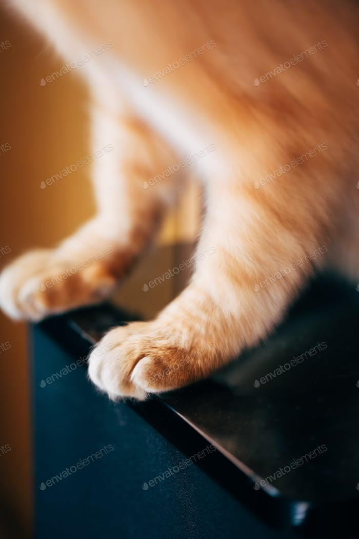 Close Up Paw Pads Of  Red Cat Kitten