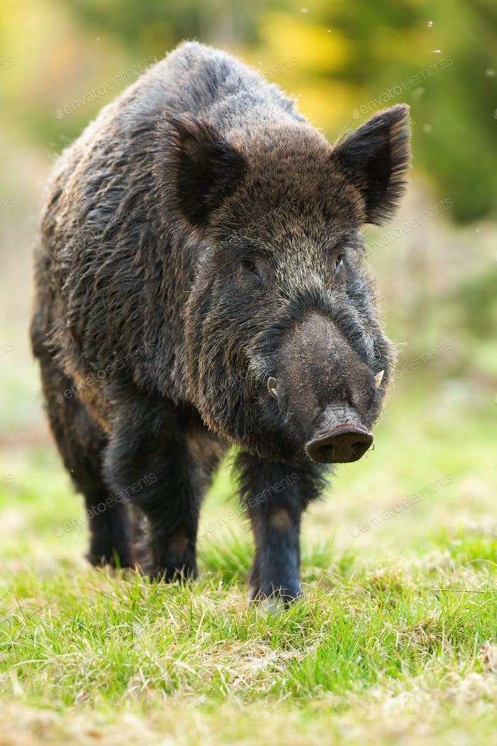 wild boar marching on green glade in spring nature