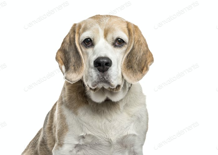 Close-up of a Beagle dog, cut out