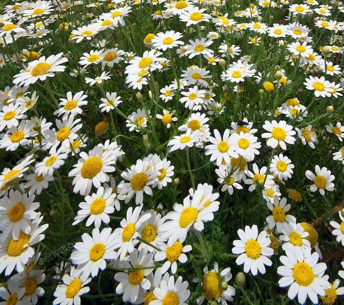 Daisy Frühlingswiese.