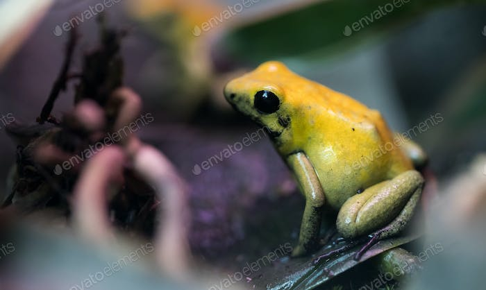 Poison frog very poisonous animal with warning colors