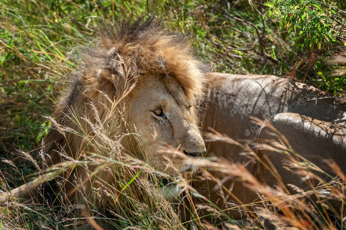 Lion male in National park of Kenya