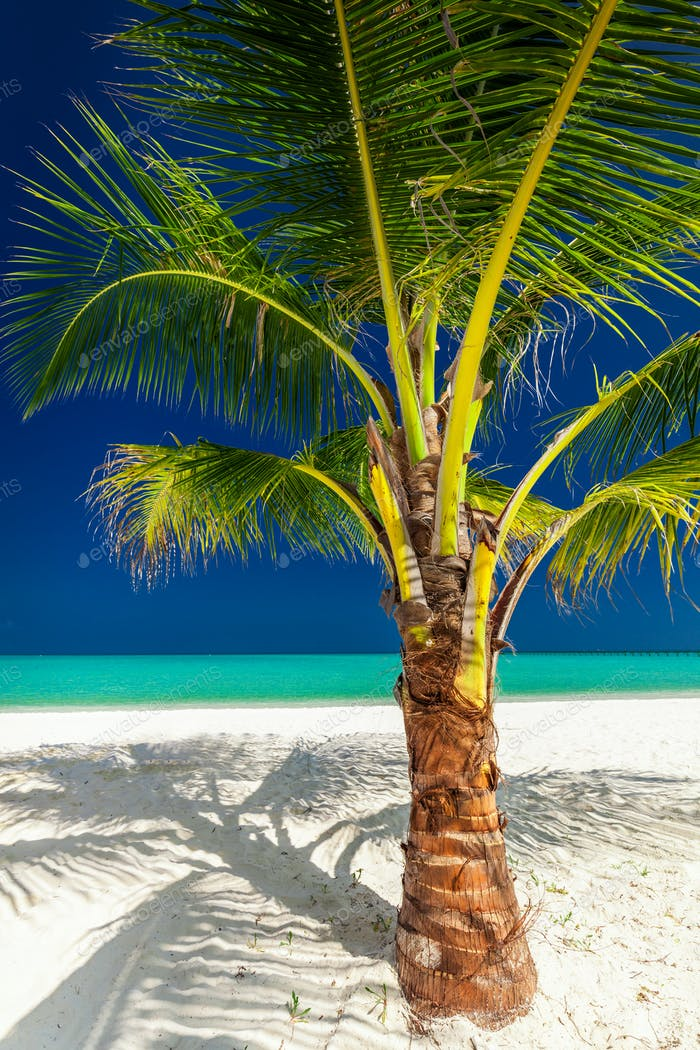 Single vibrant coconut palm tree on a white tropical beach