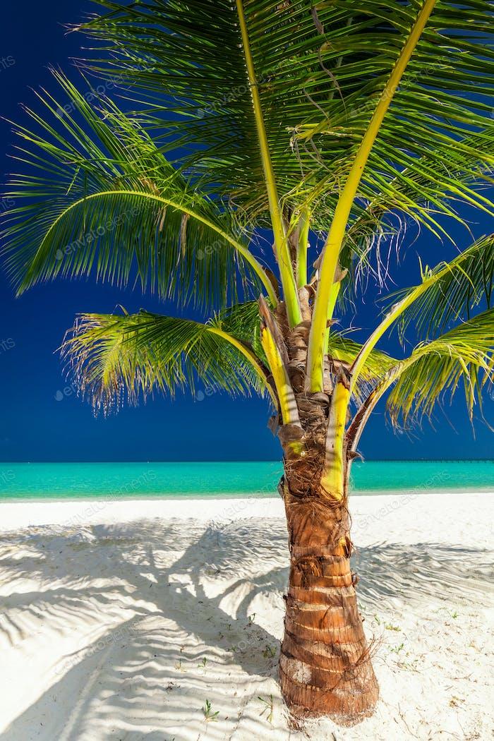 Einzelne lebendige Kokospalme an einem weißen tropischen Strand