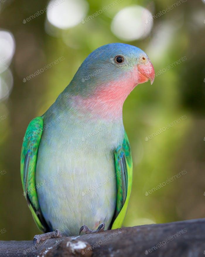 Princess parrot (1)