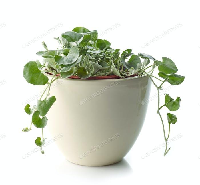 dichondra Silber fällt Pflanze