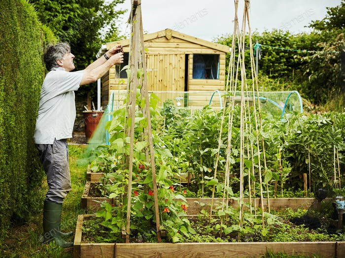 A man working in his garden, securing climbing runner bean plants and shoots to poles.