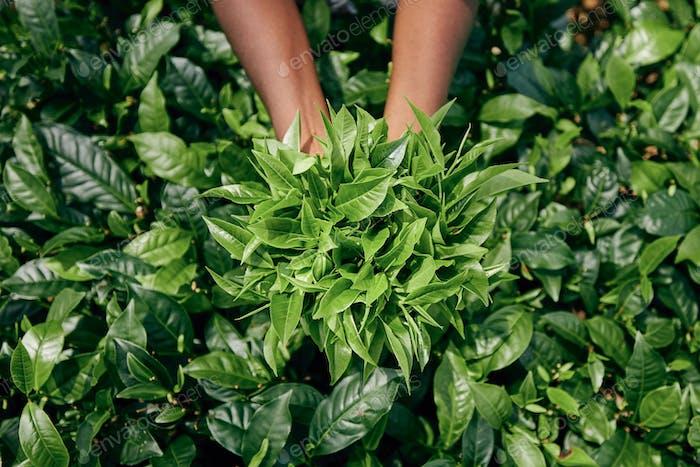Harvest on tea plantation