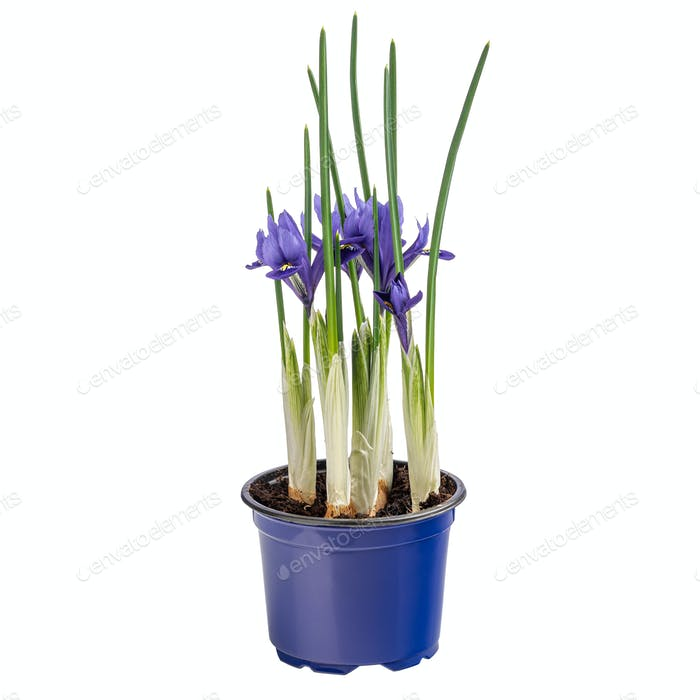 Beautiful ornamental flowering iris