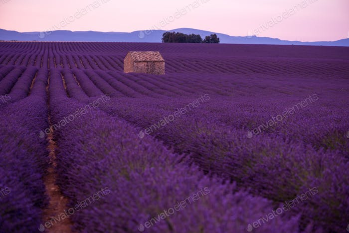 purple lavender flowers field with lonely old stone house