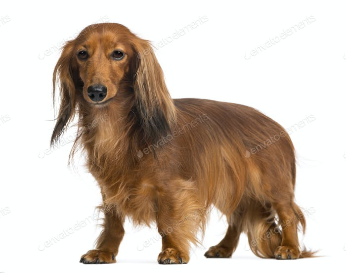 Dachshund, 4 years old, standing and looking away against white background