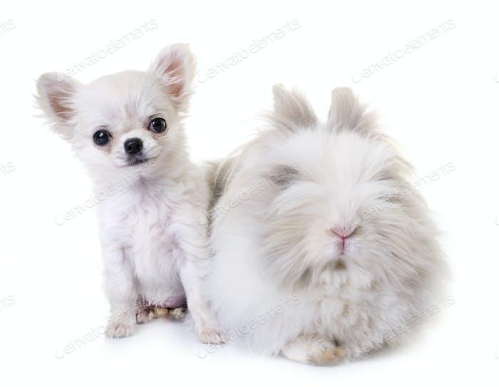 dwarf rabbit and puppy chihuahua
