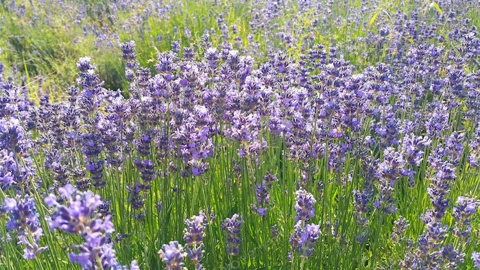 Schöner blühender Lavendel im Sommer