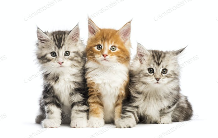 Maine coon kittens, 8 weeks old, lying together, in front of white background