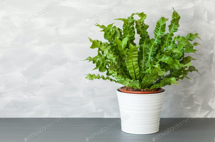 houseplant Asplenium nidus in white pot