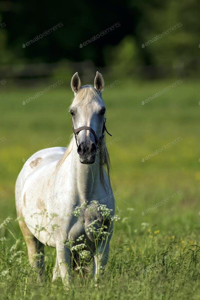 Weißes Pferd in einer Lichtung