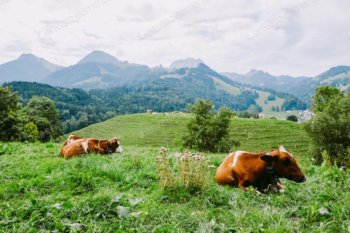 cows graze in the meadow with mountain view