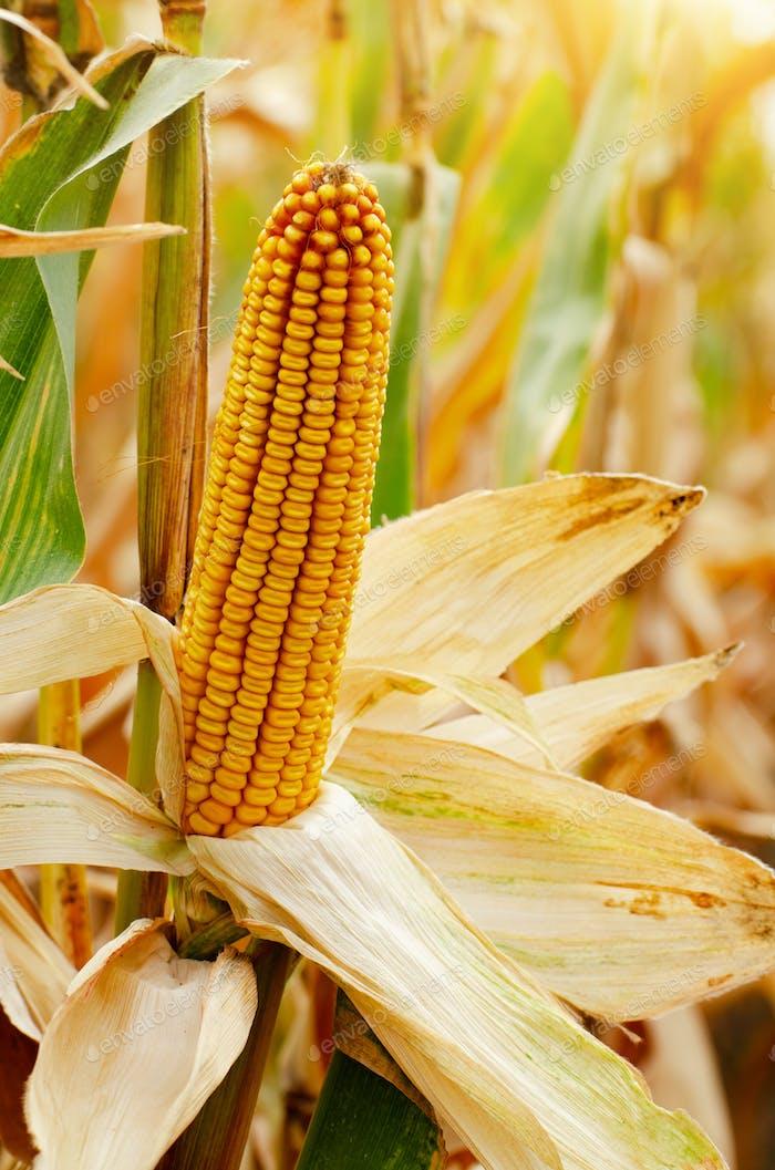 mazorca de maíz seco en tallos vista auténtica en el campo de maíz tiempo de otoño