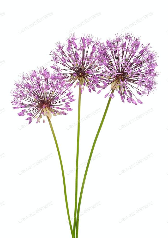 Allium Blumen