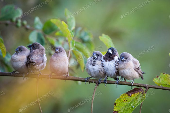 Bronze mannakins, Lonchura cucullata, perch together on a thin branch, direct gaze facing camera,