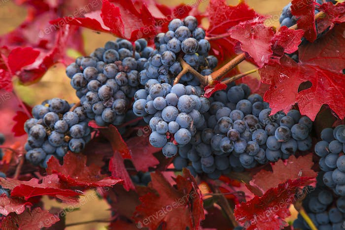Blue grapes on a background of red autumn leaves.