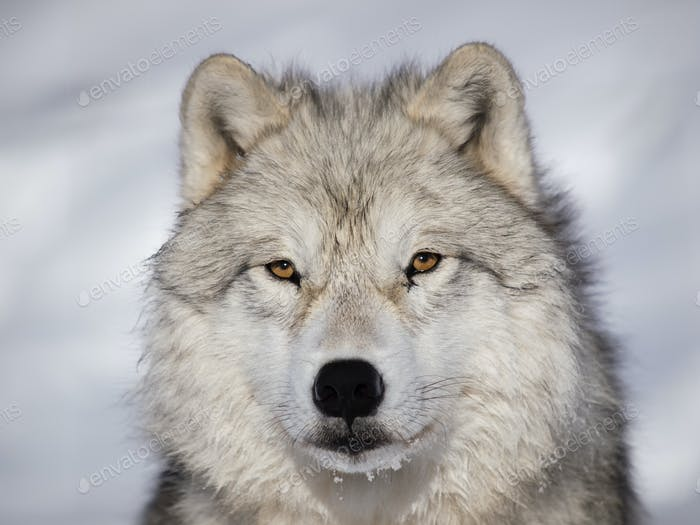 Arctic Wolf alpha male closeup