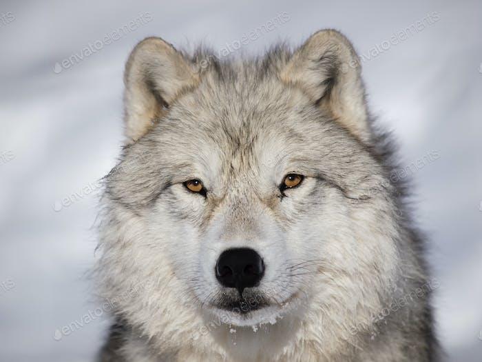 Arctic Wolf alpha männliche Nahaufnahme