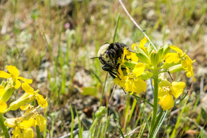 Close up of Bumble bee pollinating a Franciscan wallflower