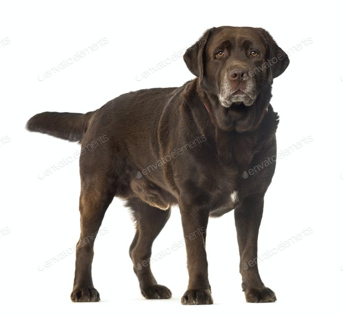 Fat Labrador dog standing, cut out