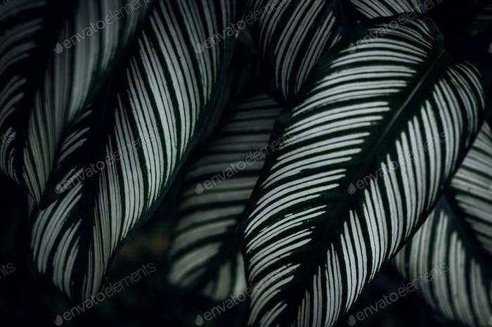 The Stripe pattern of leaves
