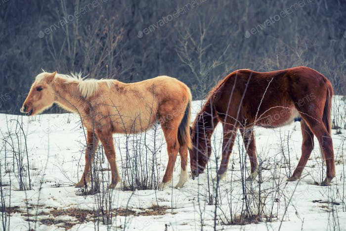 Pair of horses grazing in winter