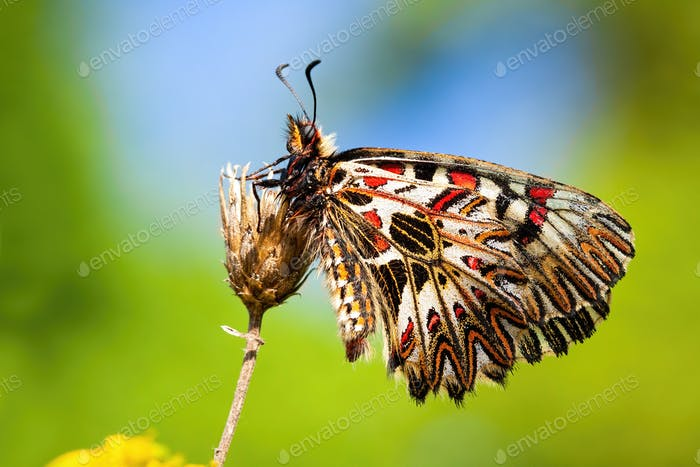 Colorful southern festoon sitting with wings closed in vivid nature