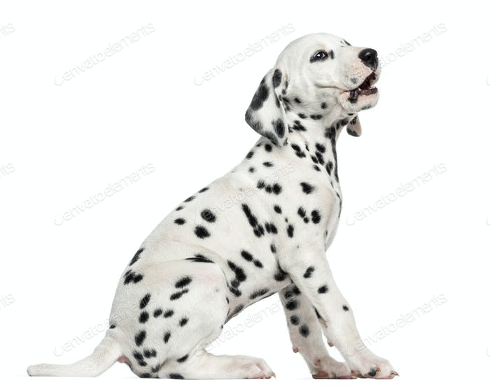 Side view of a Dalmatian puppy barking, sitting, isolated on white