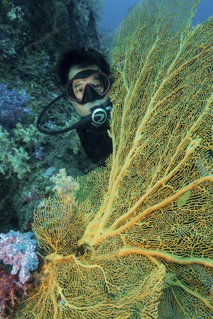 Diver peers out from behind a large gorgonian, yellow sea coral, a fan coral.