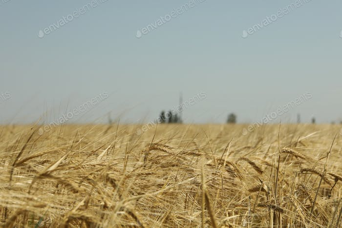 Barley field. Agriculture and farming. First summer harvest