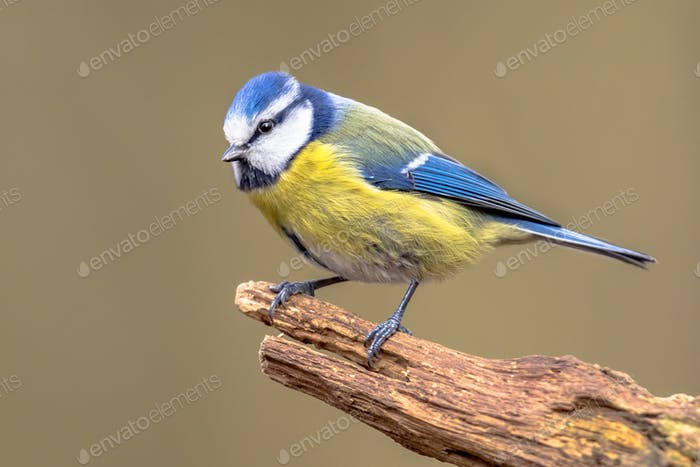 Eurasian Blue Tit perched on log looking