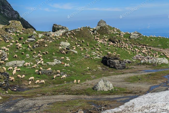 sheep to pasture
