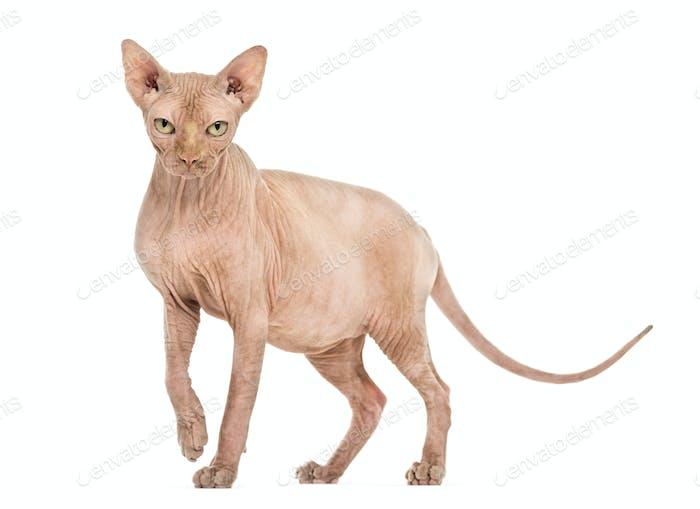 Sphynx Hairless cat portrait against white background