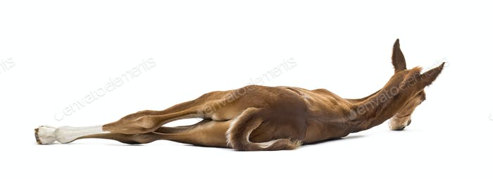 Rear view of a foal lying on the side